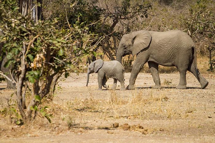 Elephant bebe et maman
