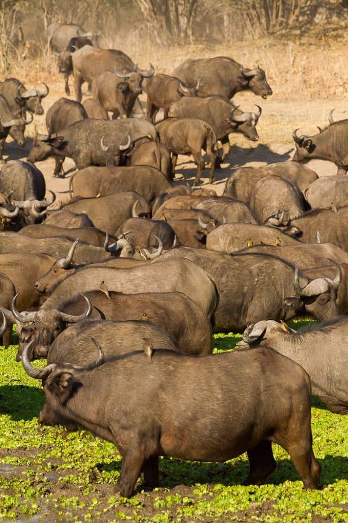 Horde buffles