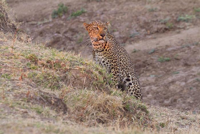 Leopard en chasse