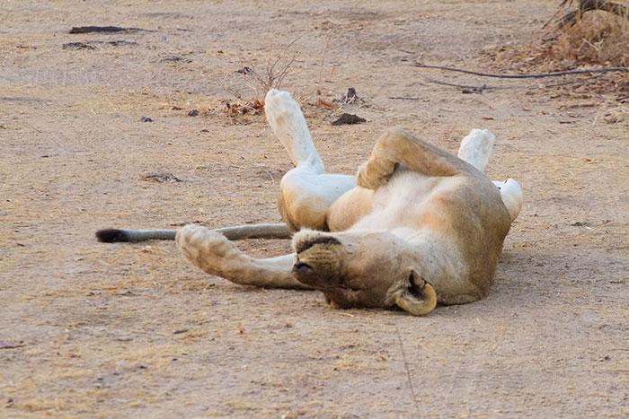 Lion ventilation