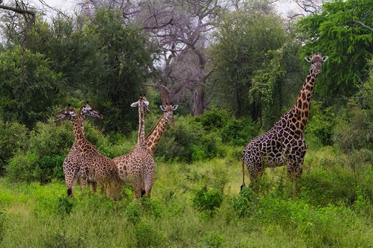 Girafes Jardin South Luangwa