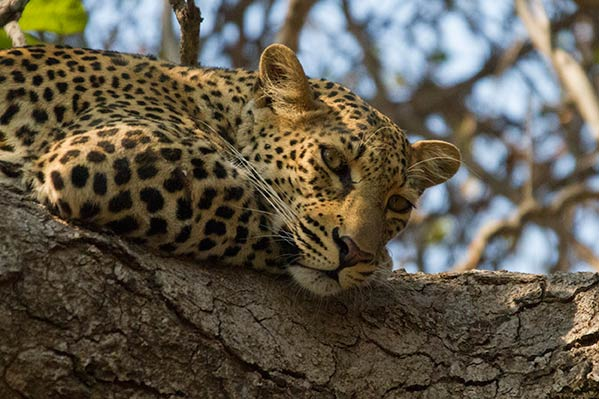 Leopard eyes South Luangwa
