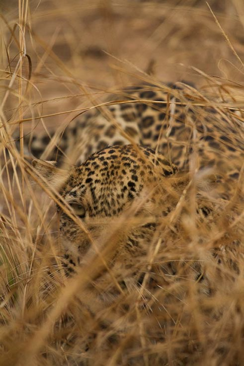Leopard hiding South Luangwa
