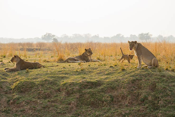 Lionnes et bebe South Luangwa