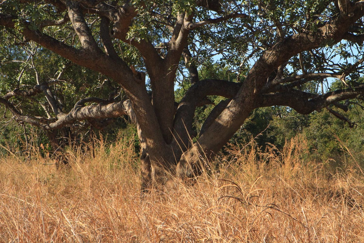 Zambie Parc National North Luangwa Arbre