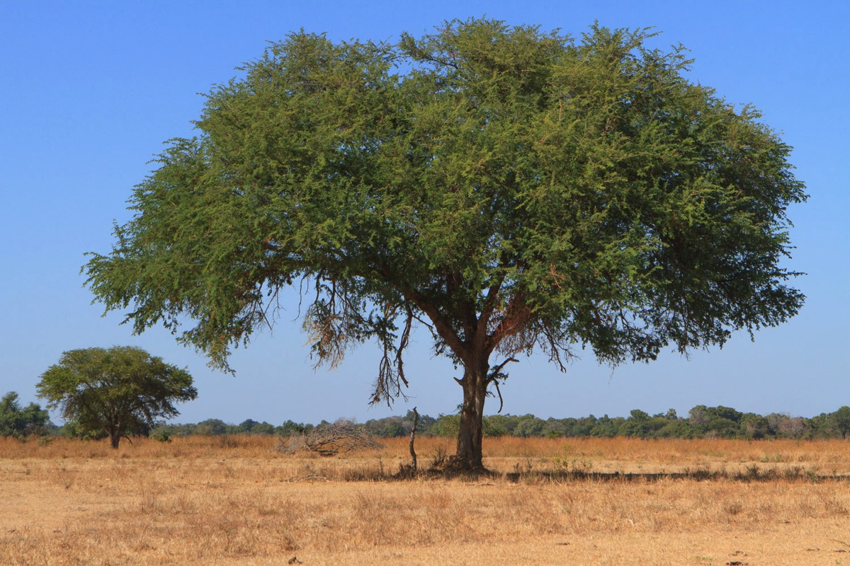 Zambie Parc National North Luangwa Arbre solitaire