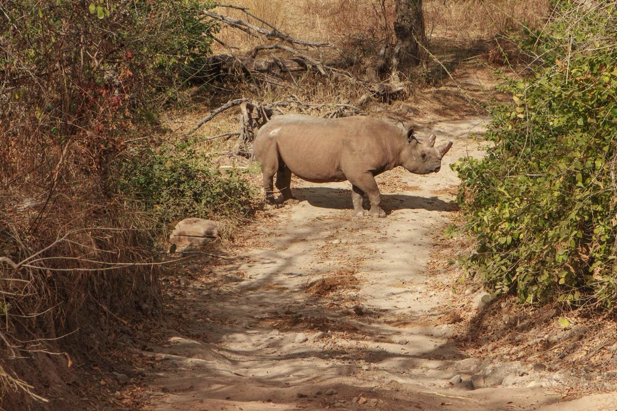 Zambie Parc National North Luangwa Rhino Noir Road Block